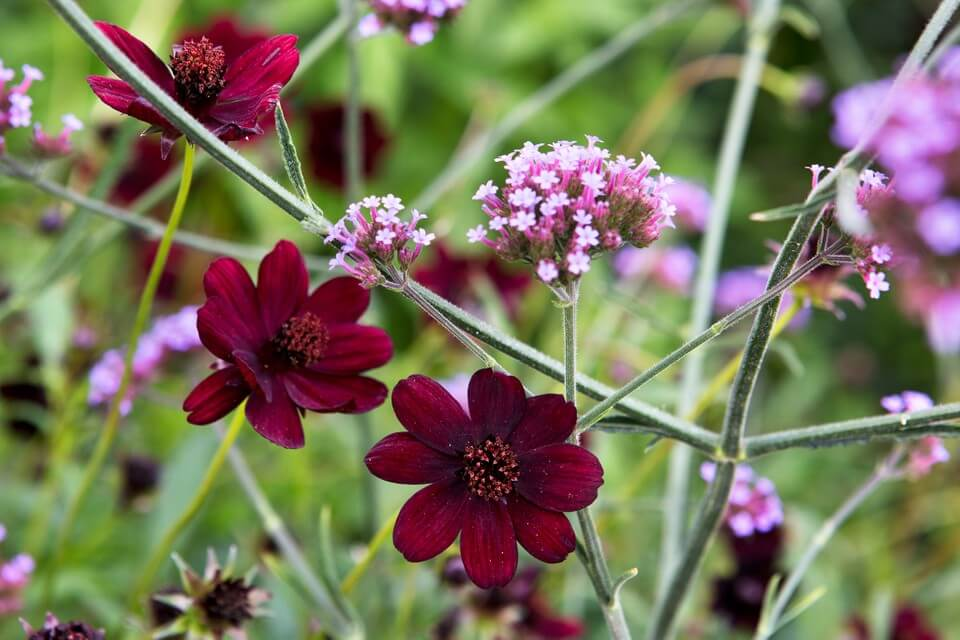Chocolate Cosmos; 13 Captivating Flowers That Start With C