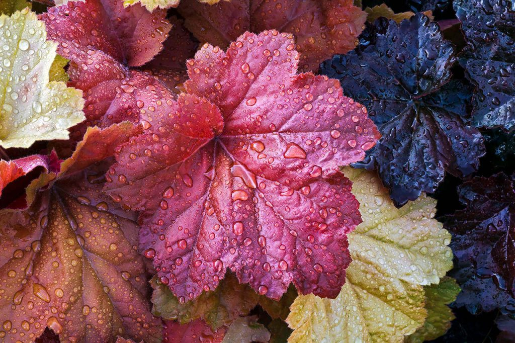 Coral Bells; 13 Captivating Flowers That Start With C