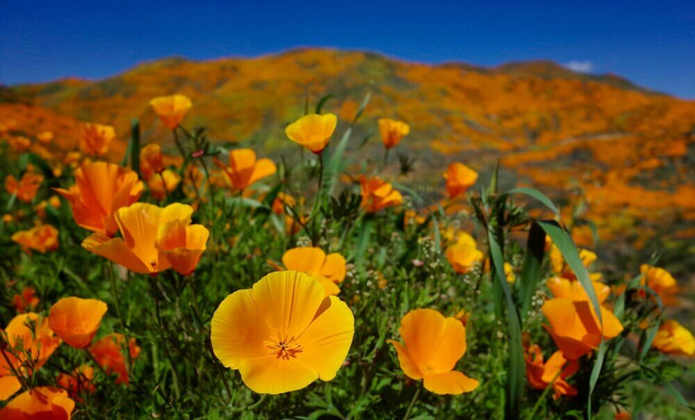 California Poppy; 13 Captivating Flowers That Start With C