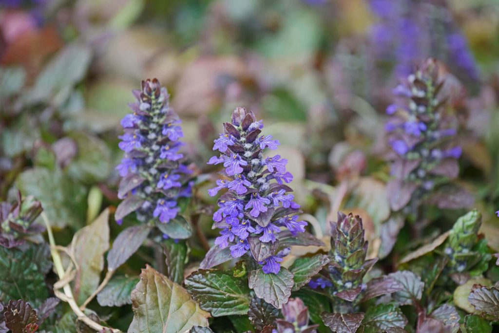 Carpet Bugle; 13 Captivating Flowers That Start With C