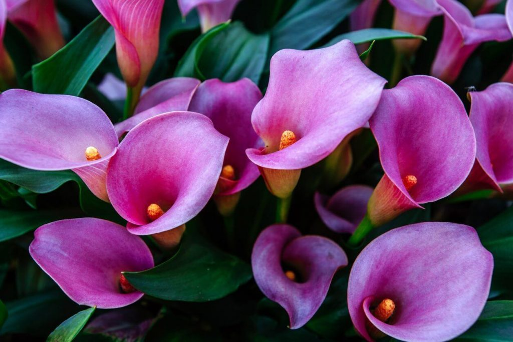 Calla Lily; 13 Captivating Flowers That Start With C