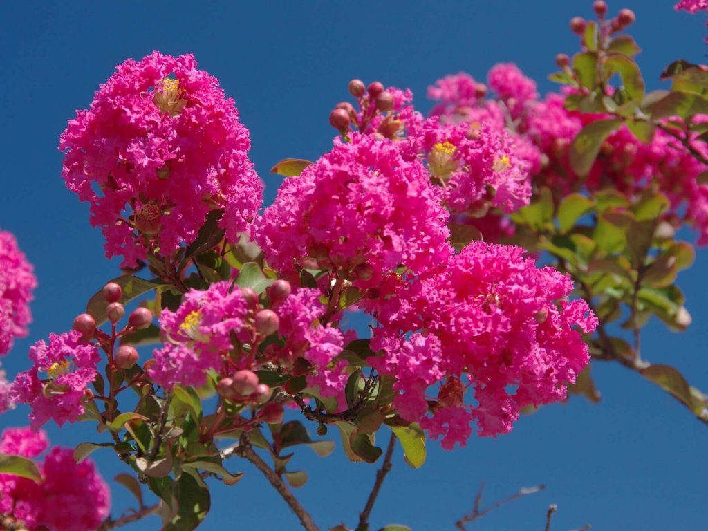 Crape Myrtle; 13 Captivating Flowers That Start With C