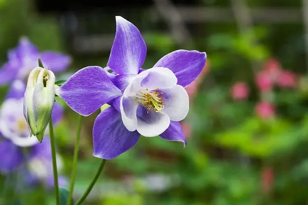 Columbine; 13 Captivating Flowers That Start With C