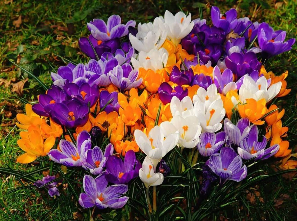 Crocus; 13 Captivating Flowers That Start With C