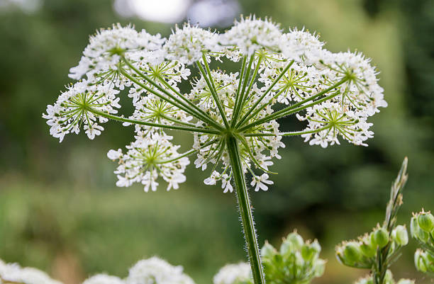 Cow Parsley; 13 Captivating Flowers That Start With C