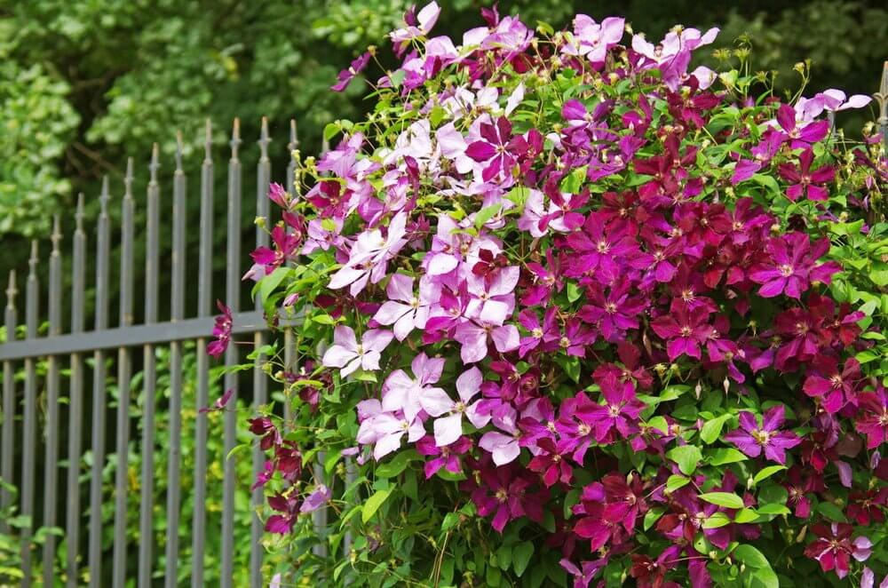 Clematis; 13 Captivating Flowers That Start With C