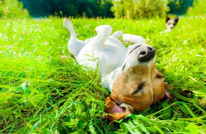 Dogs roll on the grass.