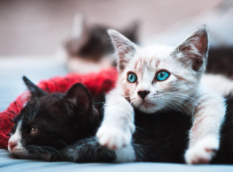 Why Do Cats Wag Their Tails While Lying Down?